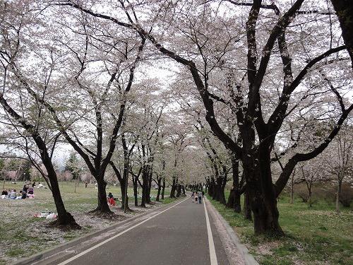 桜最初.jpg